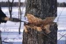 В Саранске рабочего убило дерево