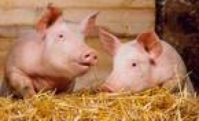 Требования по профилактике африканской чумы свиней в Мордовии соблюдаются не везде