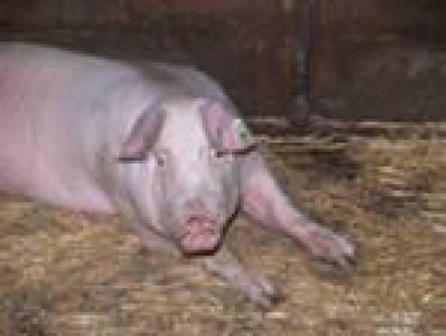 Угроза заноса африканской чумы свиней в Мордовию возрастает