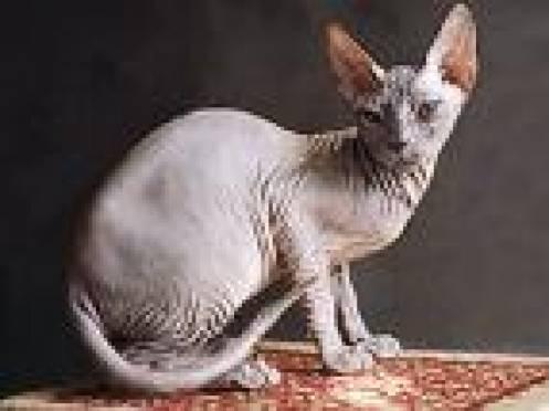 В Саранске состоится международная выставка кошек