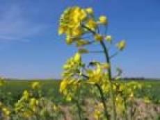 Нехватку кормов аграрии Мордовии намерены частично возместить рапсом