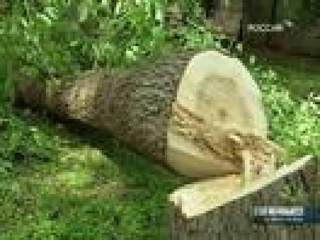 В Саранске участились факты самовольной вырубки деревьев
